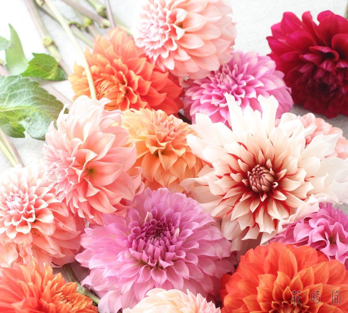 ダリアのフラワーギフト、選び方とおすすめ8選 | GardenStory ...