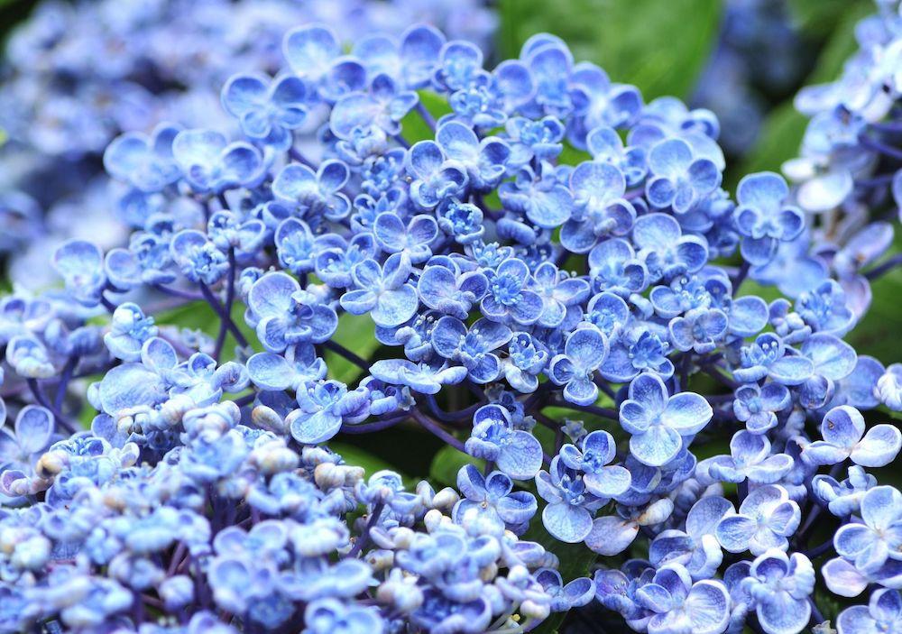 紫陽花 の 剪定 の 時期