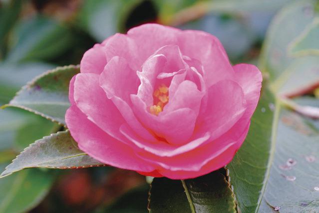 獅子頭 寒椿を代表する品種。すべての寒椿の園芸品種は、この花から生まれたと考えられています。