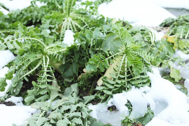 大根 水分の多い大根も冬の間は糖分やビタミンなどを増やし、0℃になっても凍りません。冬栽培用に改良されたスの入りにくい品種などもあります。