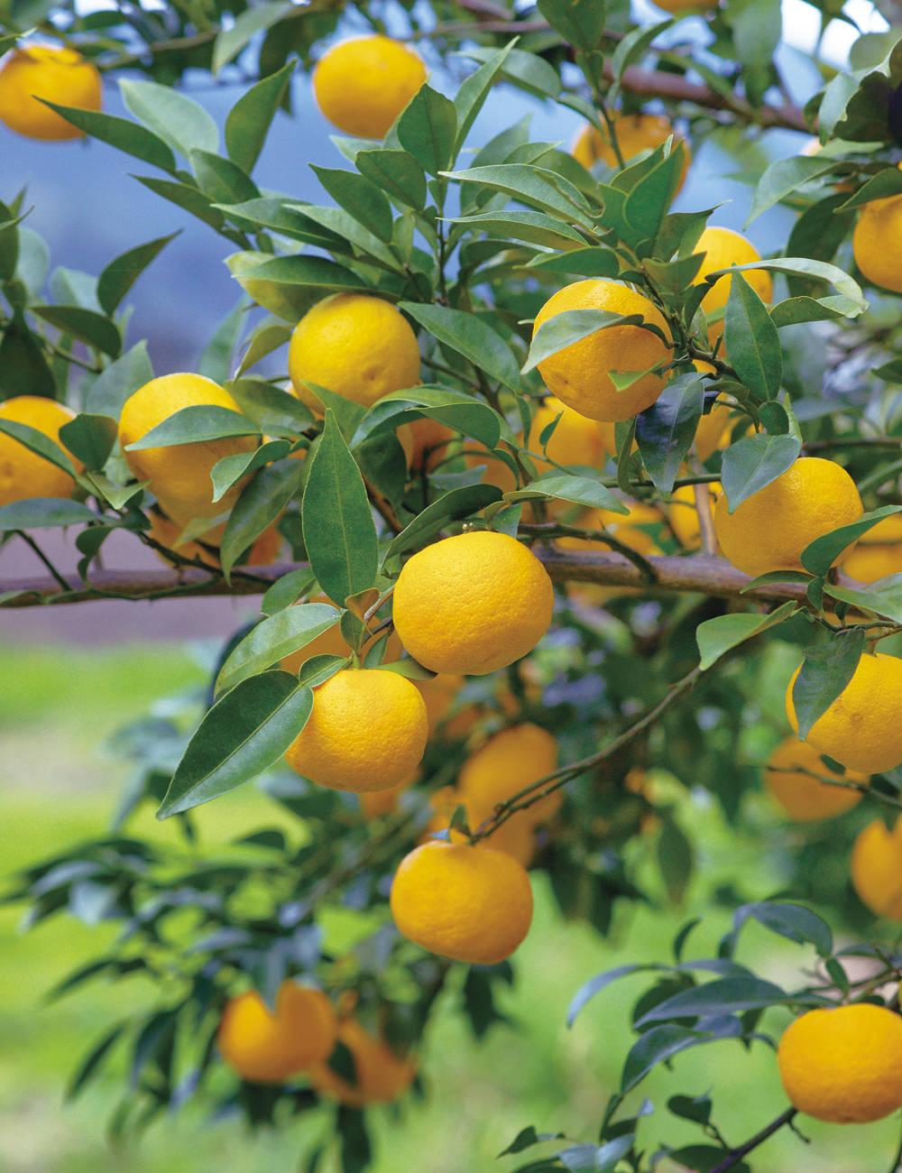 ハナユズ Citrus hanayu 本柚子より短期間で実りが得られます。果実は比較的小さいものの、香りがよく丸ごとか1/2に切って甘露煮などで楽しめます。