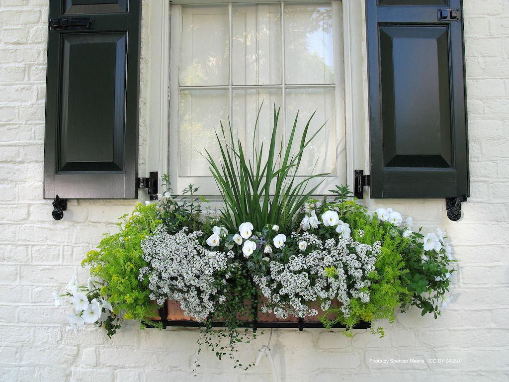 アリッサムやパンジーなど白花とグリーンのみを植え込んだ春のエレガントなウィンドウボックス。