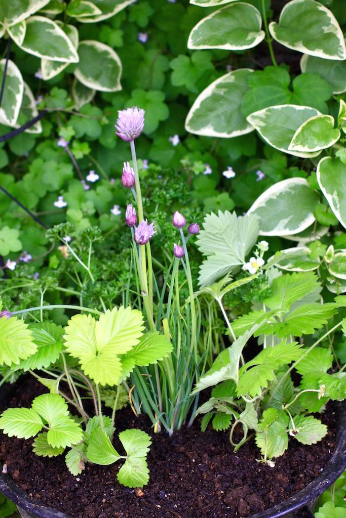 春先のチャイブ。中央にチャイブを植え、ワイルドストロベリーとパセリとともに寄せ植えにしました。