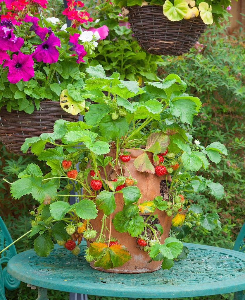 垂れ下がる赤い実が可愛らしいイチゴの鉢植え。ランナーを受け止めて育てるスペースがある専用のストロベリーポットを使用。