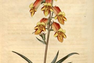William Curtisの植物学雑誌Curtis's Botanical Magazine, Volume 47より