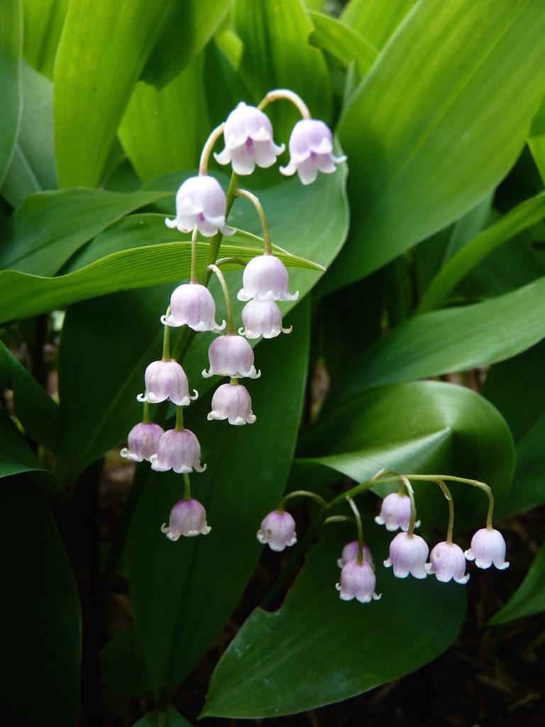 聖母マリアの涙から生まれたという伝説を持つ、清楚な白花。淡いピンク色のスズランの花も美しい。