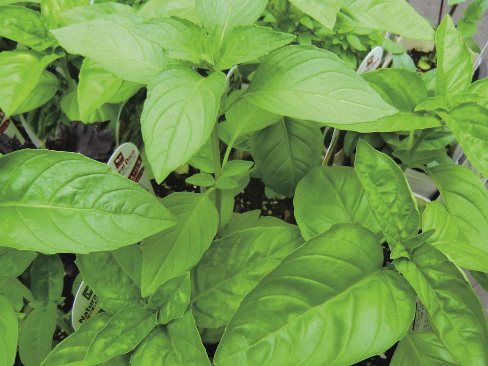 バジル コナジラミ、ハエ、蚊、アブラムシを寄せ付けず、トマトの生育を助ける