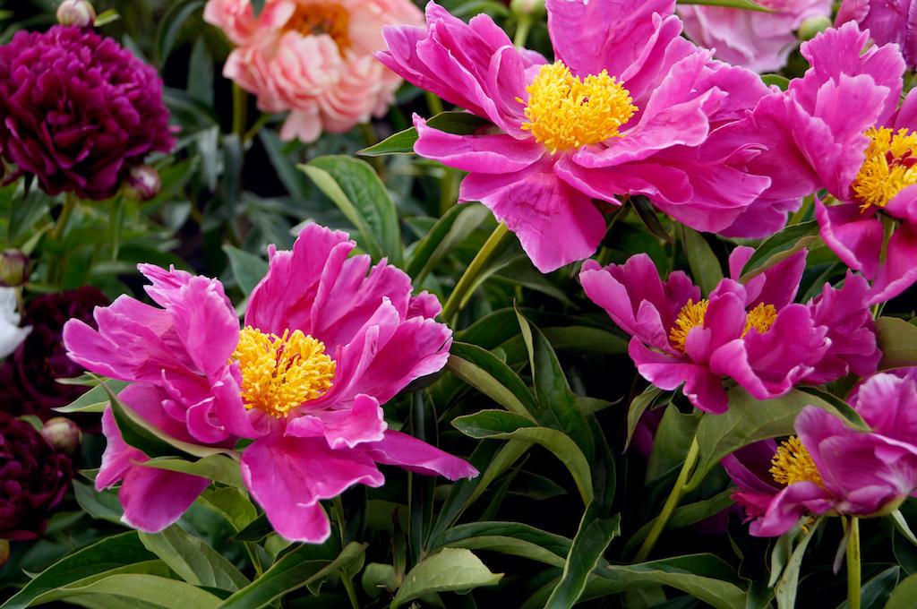 輝くような花心の黄金のシベが美しい半八重咲き種。ひらひらと波打つ花弁も美しい。