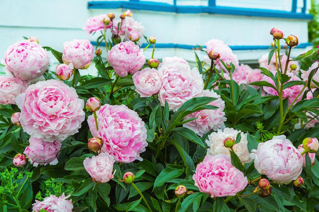バラに似た咲き姿の見事な八重咲き。丸いツボミと花の大きさを比較すると驚きです。