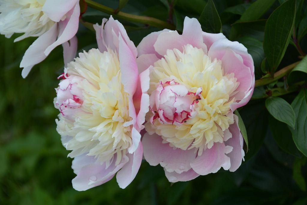 淡いピンクとクリーム色の花びらがバレリーナのチュチュのように愛らしいシャクヤク'ソルベット'。