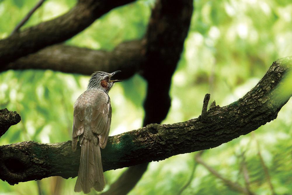 ヒヨドリ Bulbul 全体的に灰色がかった色彩のヒヨドリは、花の蜜や果実が大好物で、庭によく遊びにくる野鳥の代表です。