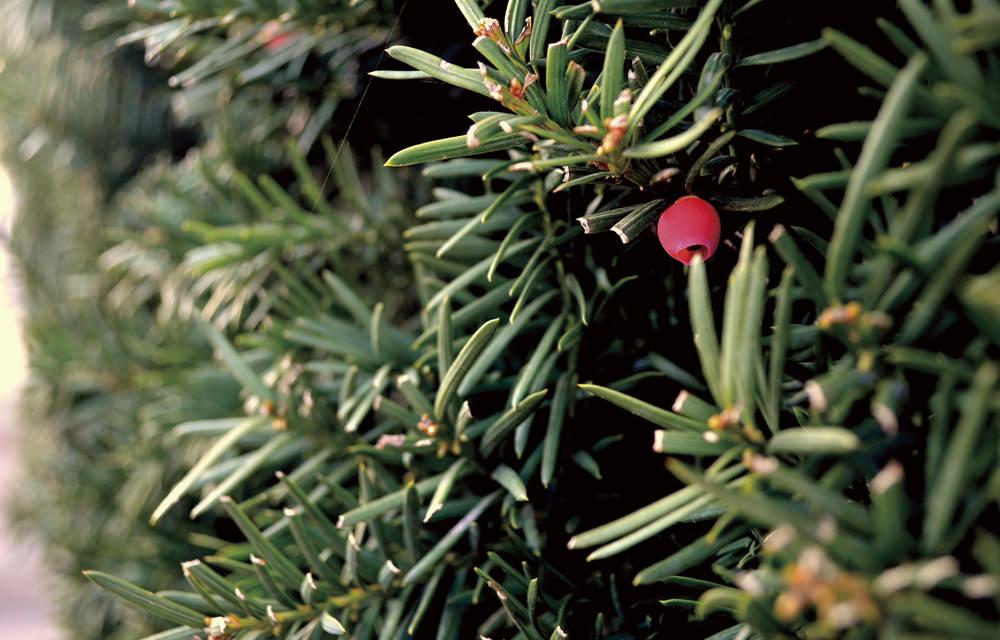 イチイ Taxus cuspidata 住宅の生垣などによく見られる常緑針葉樹。別名アララギ。赤い小さな実がなります。タネには毒性があるので口に入れないこと。