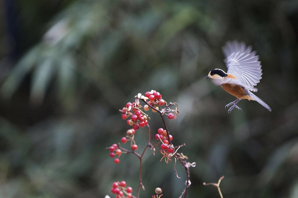 ヤマガラ Varied tit 白黒の大きめの頭にオレンジ色のお腹、灰色の羽根と、はっきりした色合いがかわいい。