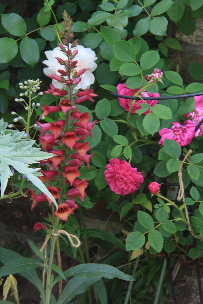 赤とオレンジの配色が美しいハイブリッド・ジギタリス。バラと素敵な組み合わせの個人邸の庭。