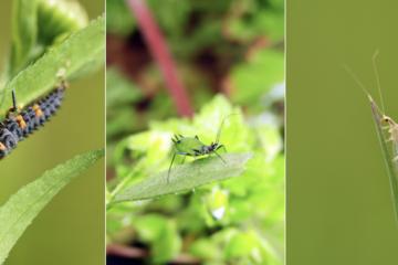 左はテントウムシの幼虫、右はクサカゲロウ。どちらもアブラムシ(中央)を食べてくれます。