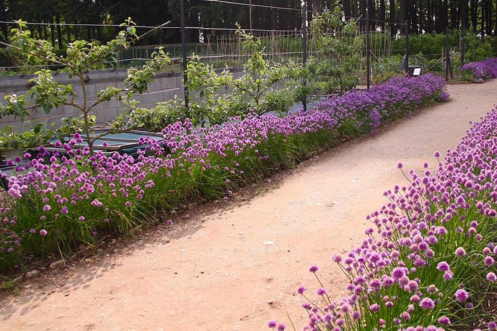 イギリスの菜園。チャイブの紫色の花が道の両脇を縁取ってキレイです。