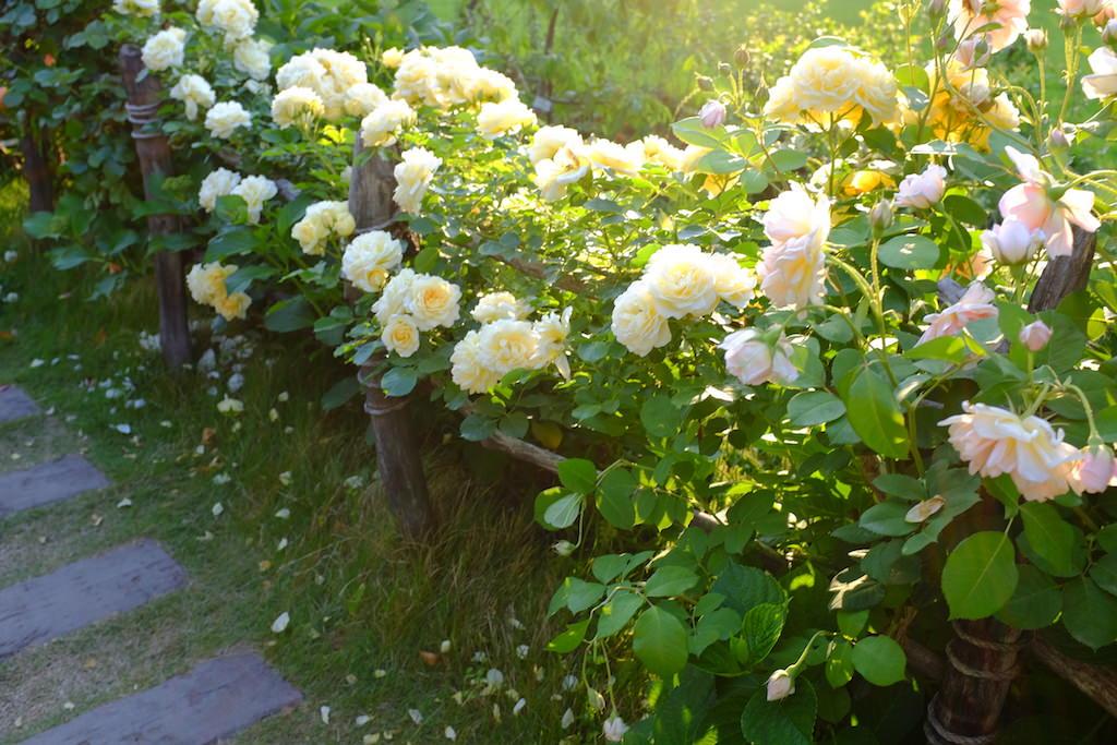 高さを低めに設えた木製フェンスにつるバラを絡ませた玄関アプローチ。