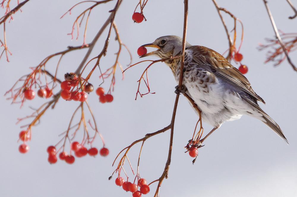 ノハラツグミ Fieldfare ツグミよりも一回り大きく、地面をはねるようにしてエサを探す姿が愛らしい冬鳥。