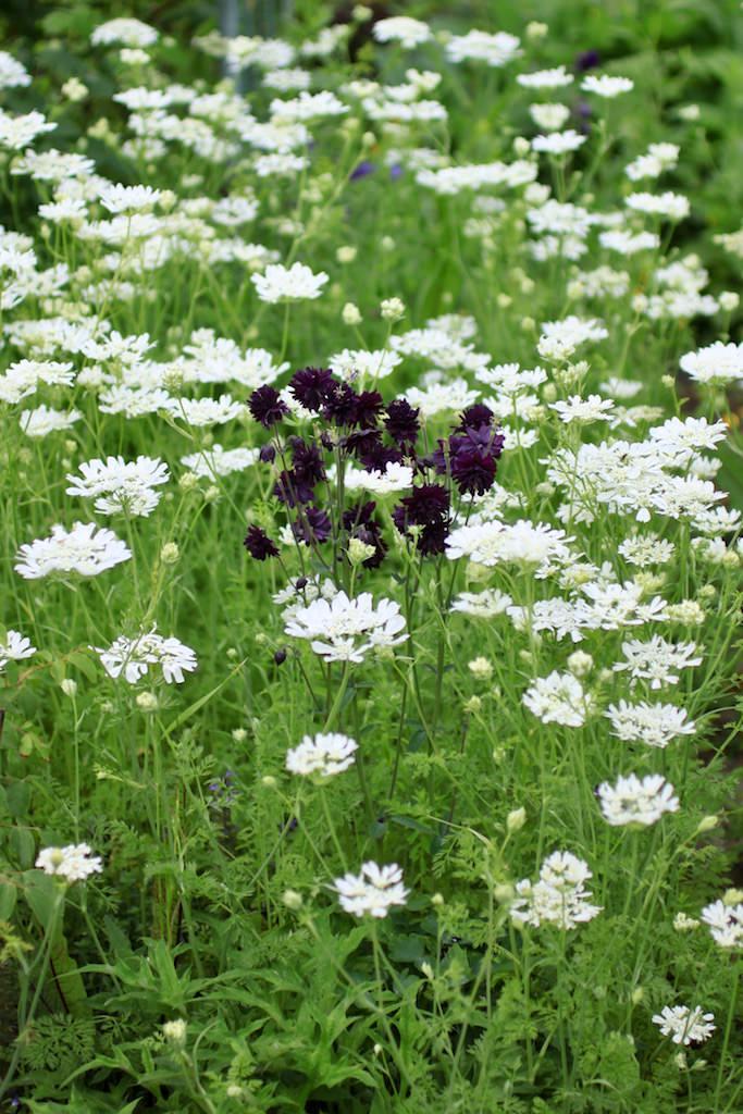 一輪でもアクセントになる花。オルレアの白い花の中で咲くオダマキ'ブラックバロー'。
