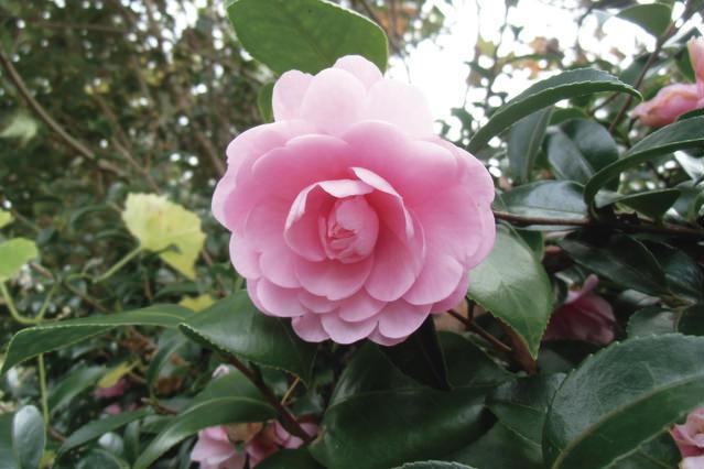 乙女山茶花 丸みを帯びた柔らかいピンク色の花弁が重なる、乙女椿とよく似た花形です。