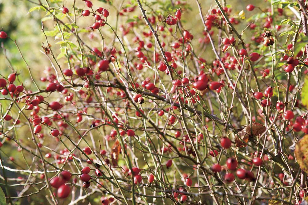 ローズヒップ Rose hip 野バラやハマナスなど一部のバラの後に実る赤い実。煮てジャムなどで食されることも。鳥の好物でもあります。