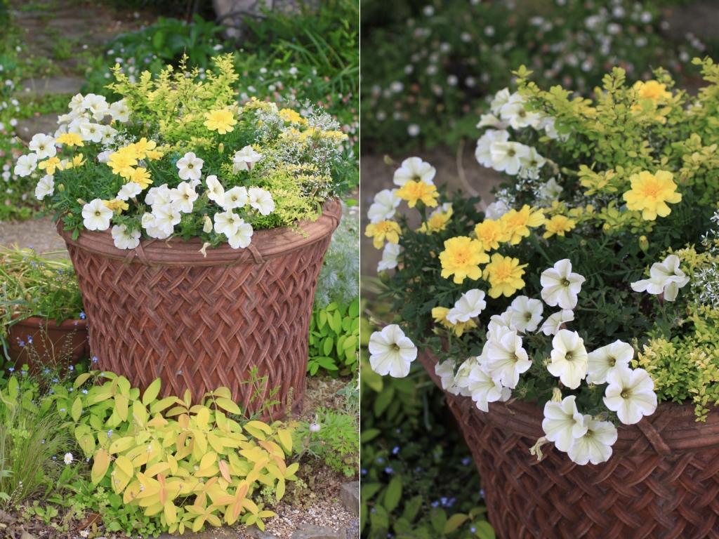 輝くような明るい色の寄せ植えです。白い花はペチュニアで、近づいてみるとライムグリーンとホワイトの2色になっています。黄色の八重咲きの花は マリーゴールド。