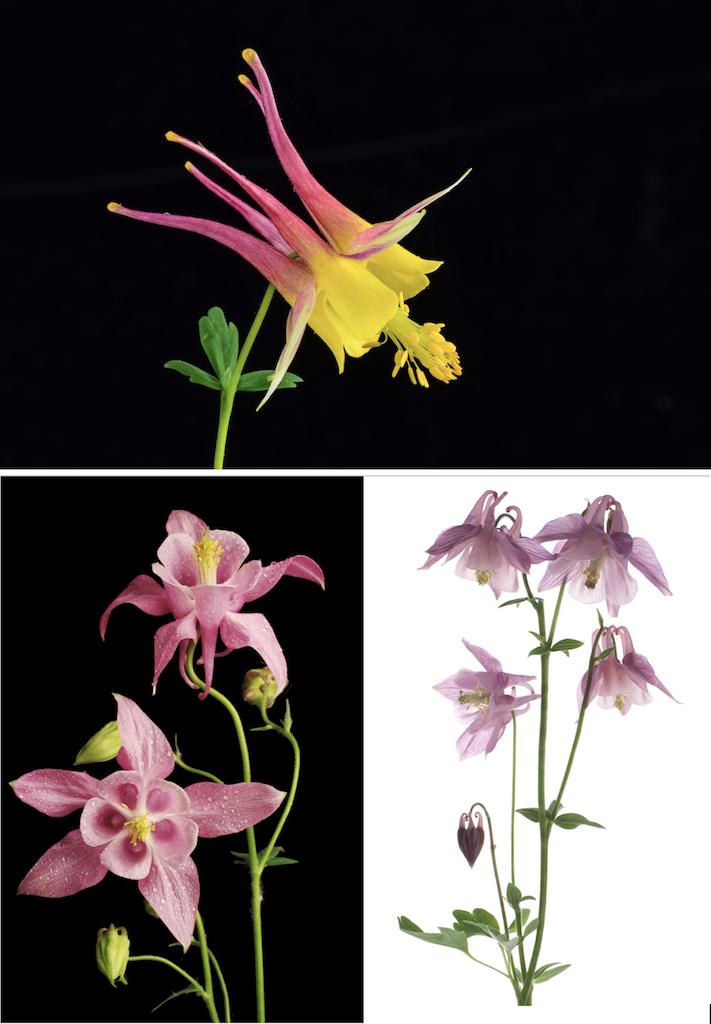見とれてしまう複雑精緻なオダマキの花姿。つぼみはまるでアクセサリーのよう。