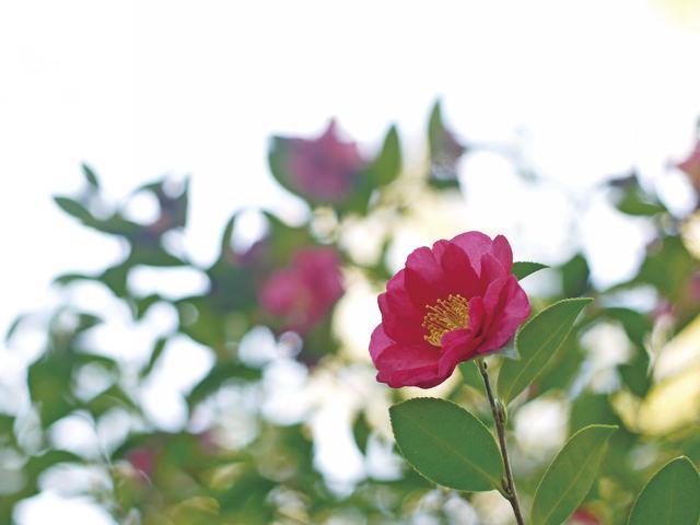 勘次郎 つややかな緑の葉に、紅色の花が映えて美しい。よく普及している品種の一つです。
