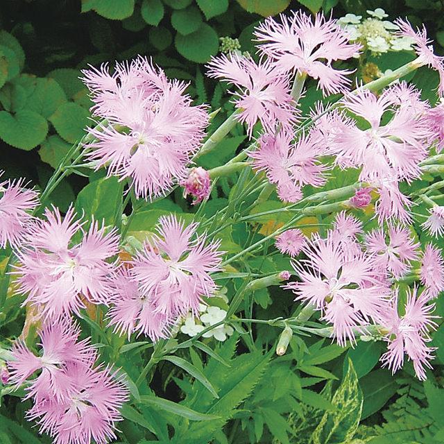 カワラナデシコ Dianthus superbus var. longicalycinus ナデシコ科 ナデシコ属 繊細な花弁の切り込みが魅力的。寒さに強くほとんど手を掛けなくても美しい花を咲かせます。