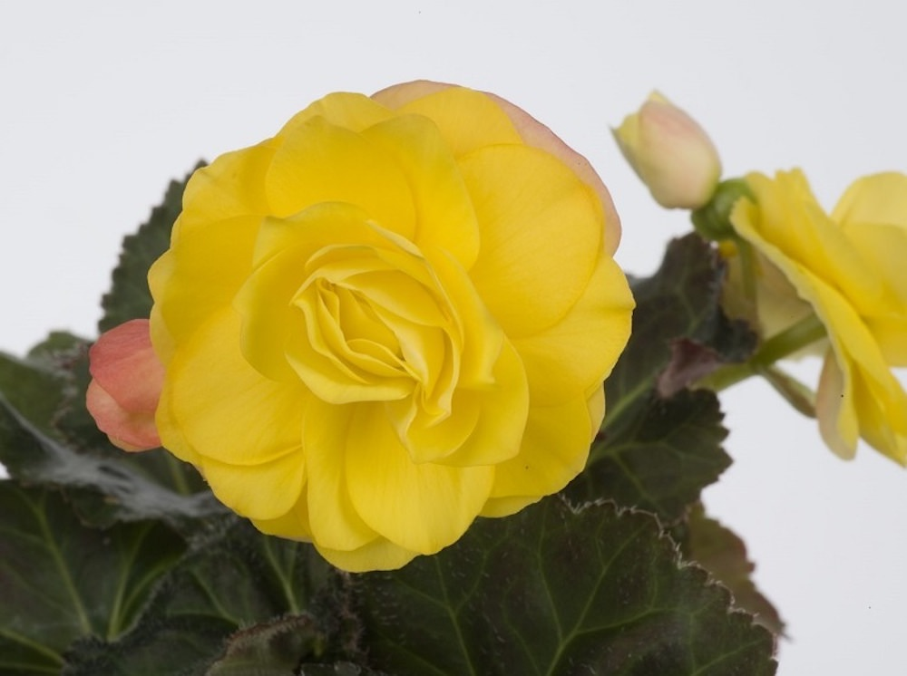 ゴールデンウィズレッドバック/イエローゴールドの花弁の裏が赤く色づく品種。赤いつぼみから濃い黄色の花が開いていく様子も美しい。