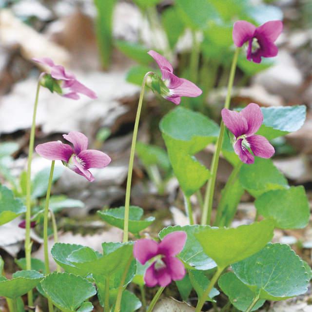 タチツボスミレ Viola grypoceras スミレ科 スミレ属 日本に自生する多数のスミレの中でも、もっともよく見かける種類。花後に茎が立つことから名が付けられました。