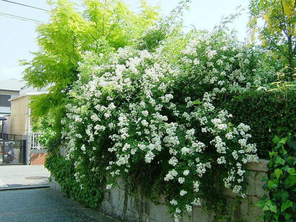 Rosa multiflora Thunb Rosa polyantha Siebold et Zucc. バラ科 バラ属 シューベルト「野ばら」。花言葉は「才能」や「詩」。