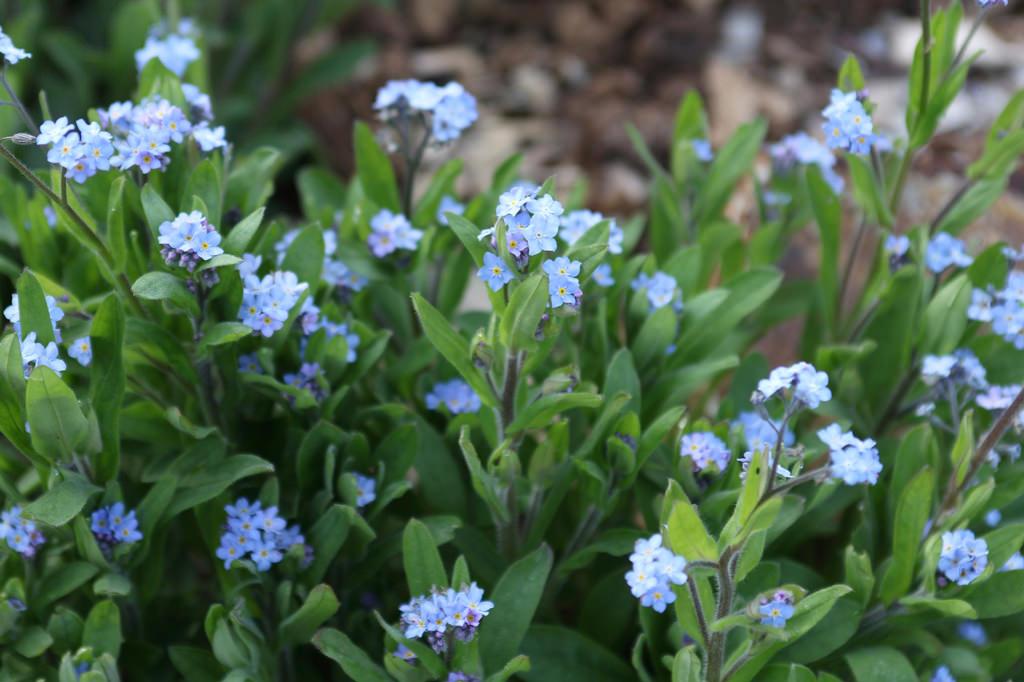 Myosotis scorpioides ムラサキ科 ワスレナグサ属 リヒナー「忘れな草」。花言葉は私を忘れないで、真実の恋。