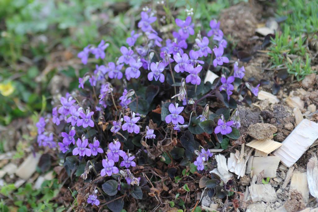 Viola mandshurica スミレ科 スミレ属 モーツァルトの「菫」。花言葉は誠実、愛、純潔。