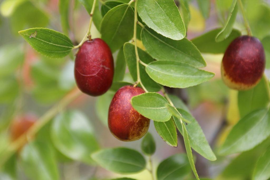 Zizyphus jujuba var.inermis クロウメモドキ科 ナツメ属 強壮作用・鎮静作用があり、副作用の緩和などを目的に多数の漢方方剤に配合される。