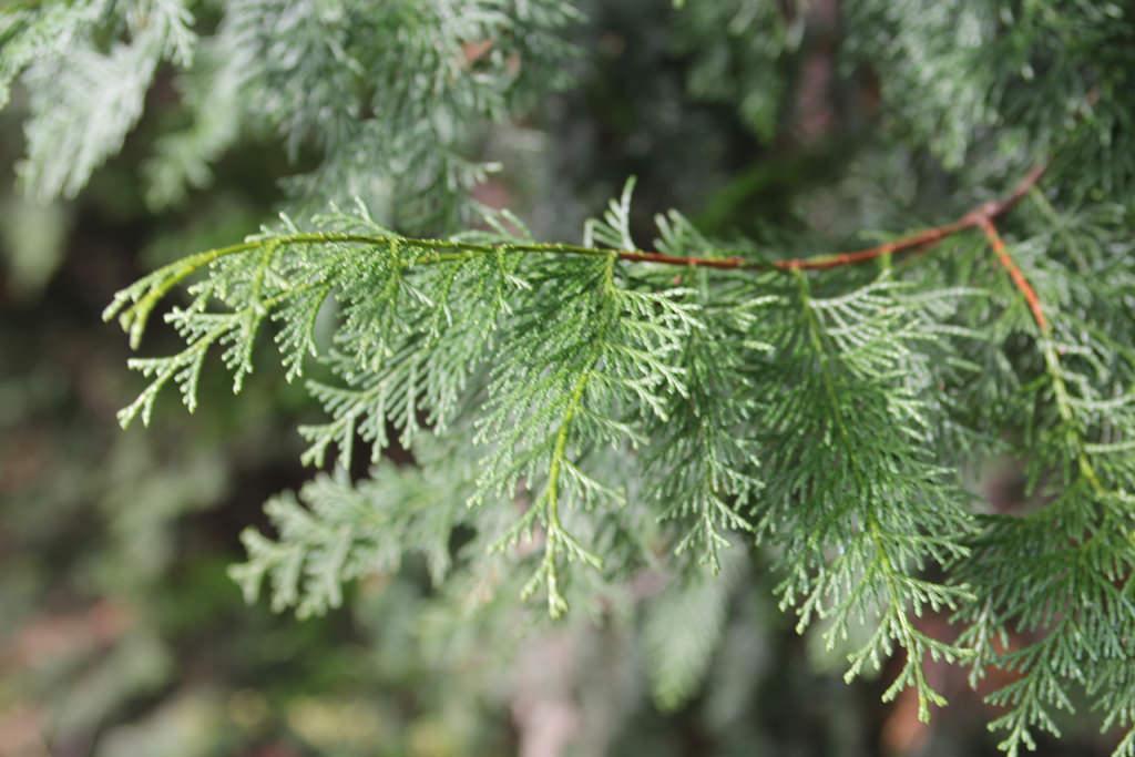 Chamaecyparis obtusa ヒノキ科 ヒノキ属 火を起こすための、火切り板として使ったため、「火の木」の意とする説がある。
