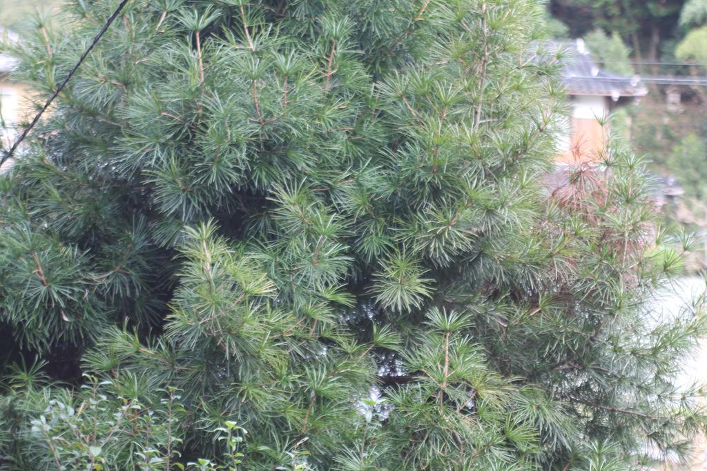 Sciadopitys verticillata スギ科 コウヤマキ属 日本および韓国済州島の固有種。別名ホンマキで、1属1種の針葉樹。