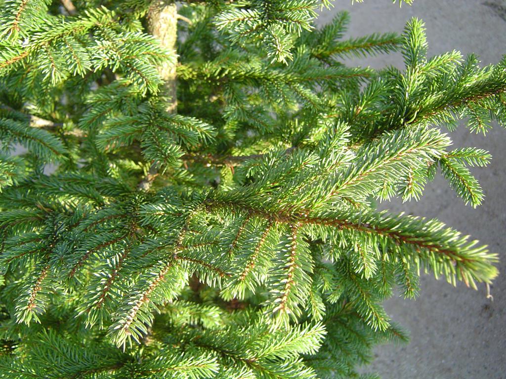 Picea glehnii マツ科 トウヒ属 北海道と東北地方の一部、南千島、樺太に分布する常緑針葉樹。