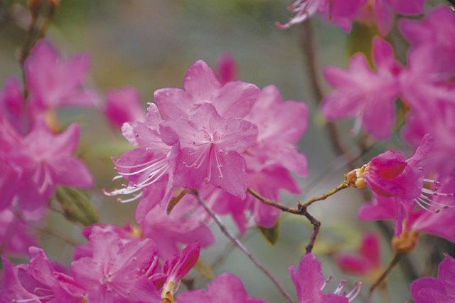 Rhododendron reticulatum ツツジ科 ツツジ属 4月頃に紅紫色 から淡紫色の花が多数咲き春の里山を彩る。