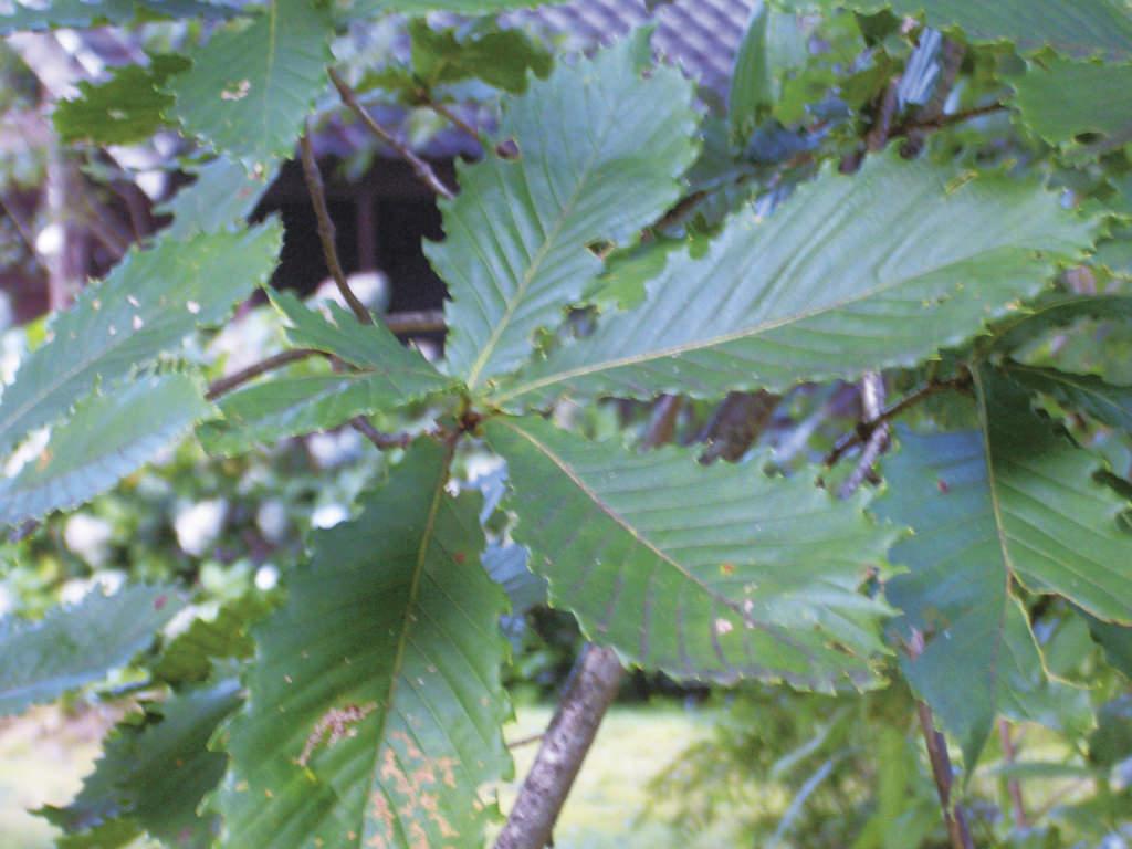 Quercus crispula Blume ブナ科コナラ属 樹皮は鱗片状に剥がれ、老木になると縦に割れ目ができる。材に水分が多く含まれ燃えにくいことからミズナラの名があると言われる。