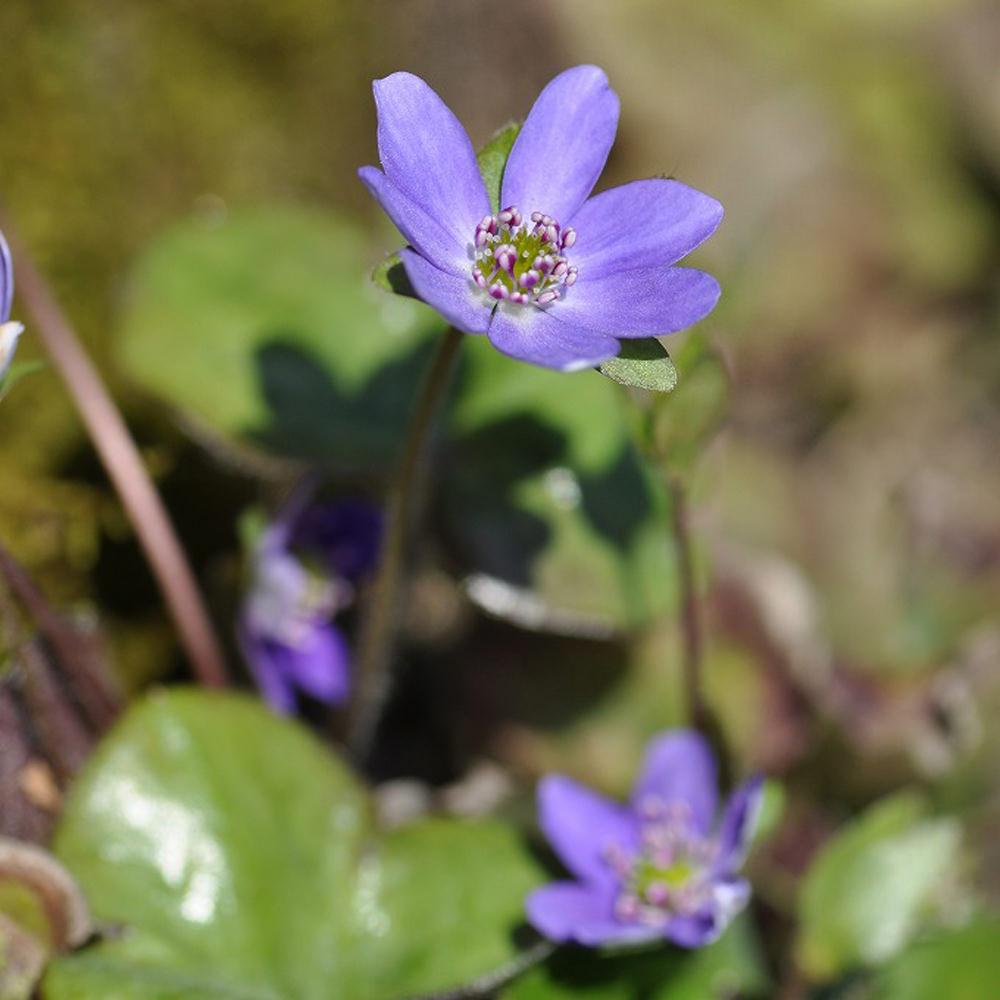 ミスミソウ(三角草) Hepatica nobilis キンポウゲ科ミスミソウ属 ユキワリソウ(雪割草)ともよばれ、いち早く花を開く。