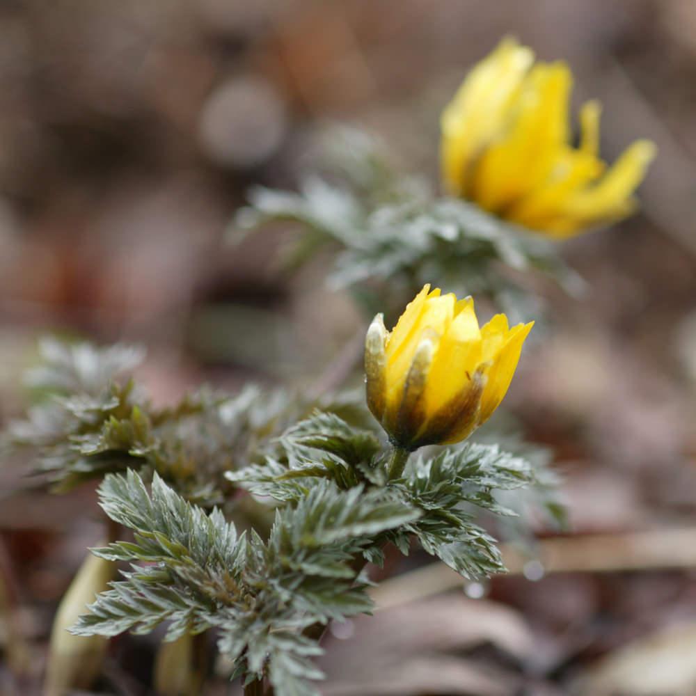 フクジュソウ(福寿草) Adonis ramosa キンポウゲ科フクジュソウ属 新春を祝う意味の和名で、正月の寄せ植えにもあしらわれる。
