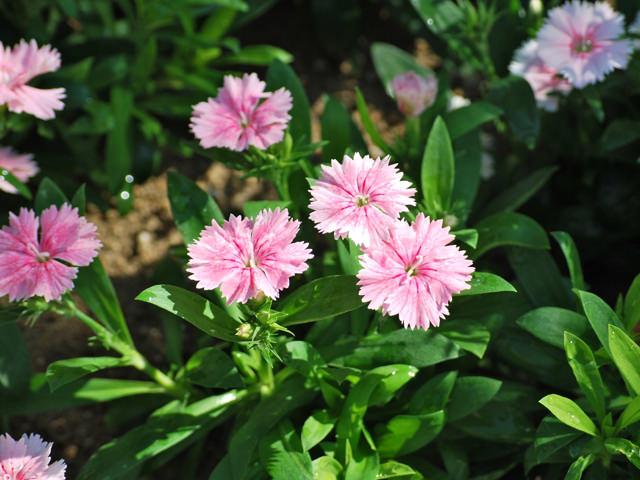 「なでしこの花」ナデシコ