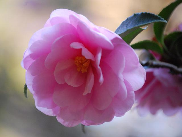 カンツバキ 開花時期が通常のツバキよりも早く、冬に美しい花を咲かせる。