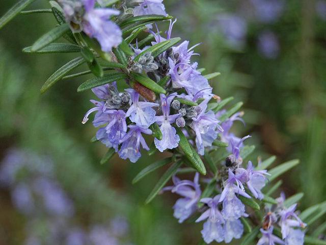 芳香療法(アロマセラピー) 植物が放つ香りを活用して健康増進、精神的な癒やしなどをはかります。
