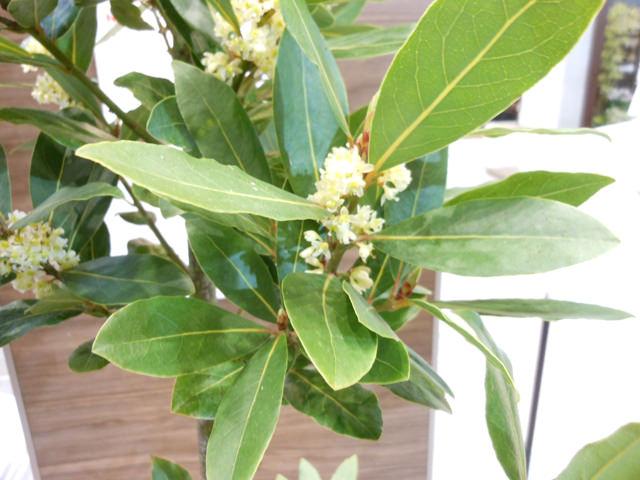 ゲッケイジュ Laurus nobilis クスノキ科 ゲッケイジュ属 葉は食欲の増進や消化を助け、肝臓を強くする効果があるといわれている。勝利、栄光のシンボル樹。