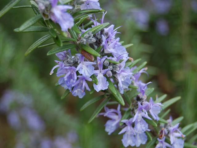 ローズマリー Rosmarinus officinalis シソ科 マンネンロウ属 消臭効果や抗菌作用、抗酸化作用に優れ、鎮静作用もある。飲用、ポプリ、防腐剤など多くの用途がある。