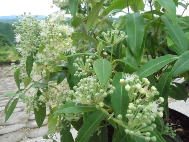 レモンマートル Backhousia citriodora フトモモ科 バクホウシア属 精油には高い抗菌性があり、濃い精油は人間の肌にも害となるが、薄めれば免疫障害に効果がある。お茶としても使える。