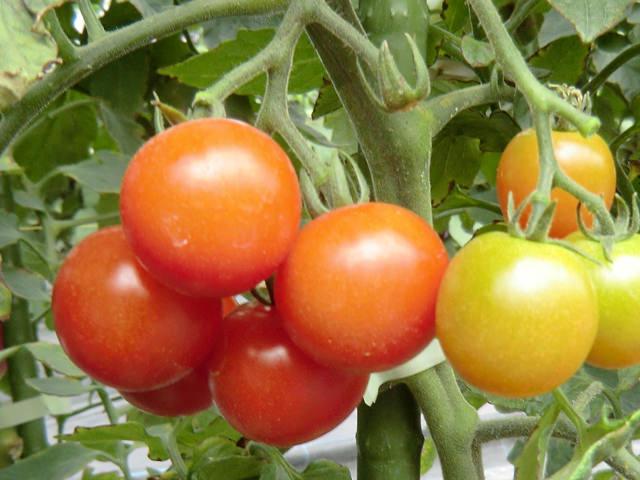 ミニトマト Solanum lycopersicum ナス科 ナス属 千果・ペペ・アイコ・イエローピコなどの品種が人気。