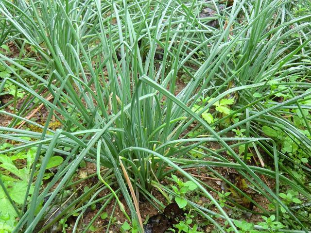 チャイブ Allium schoenoprasum ネギ科 ネギ属 セイヨウアサツキともいい、イチゴとの相性がよい。